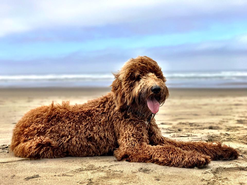 Affordable West Palm Beach Goldendoodle Puppies - Glamour Doodles