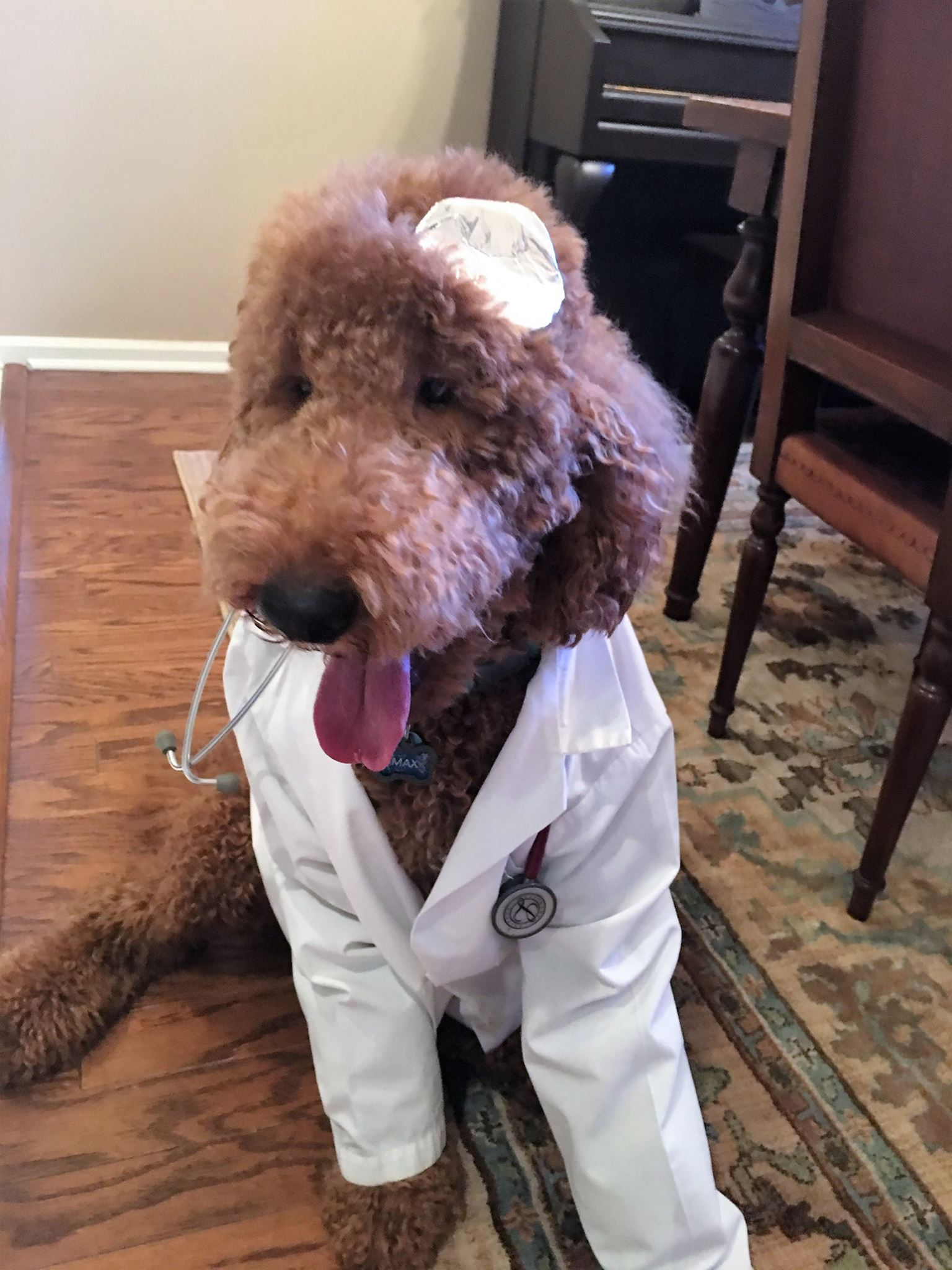 Pictures of goldendoodle puppies for sale in palm beach florida